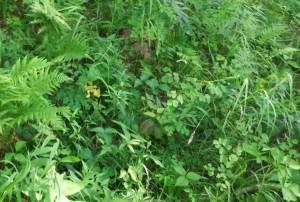 11 poison ivy
